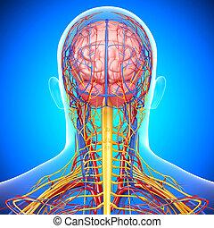 κυκλικός , εγκέφαλοs , σύστημα , ανθρώπινος
