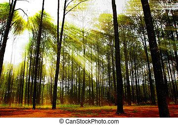 κωνοφόρος , ηλιαχτίδα , δάσοs , ανατολή