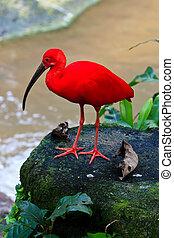 κόκκινο , ίβης , πουλί , κοντά , ο , νερό