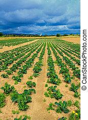 λάχανο , αγρός