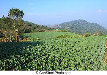 λάχανο , γεωργία , αγρός