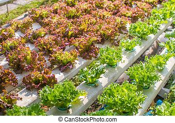 λαχανικό , αγρόκτημα