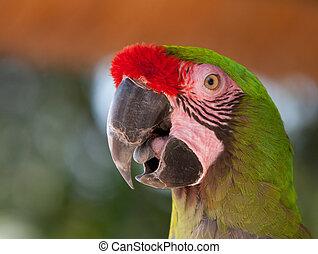 λεπτομερής , μακάο , παπαγάλος , amazingly, εικόνα , closeup , αγίνωτος αριστερός