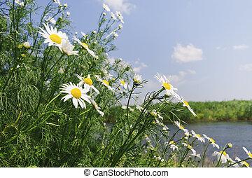 λιβάδι , με , μαργαρίτα , λουλούδια