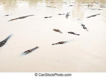 λιμνούλα , ανατολή , florida , κολύμπι , wetland , κροκόδειλος , εν μέρει