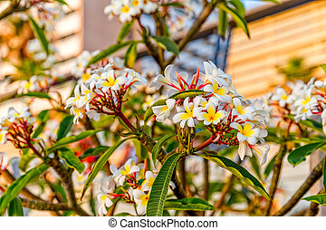 λουλούδια , ακμάζω , plumeria