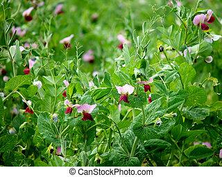 λουλούδια , - , πεδίο , αρακάς