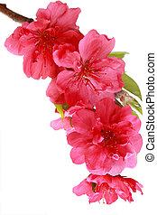 λουλούδια , ροδάκινο