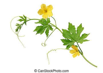 λουλούδι , άγριος πεπόνι
