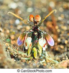 μάντις γαρίδα