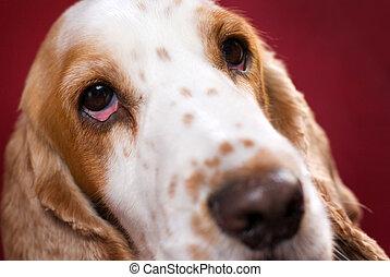 μάτι , μικρός μαλιαρός σκύλος , ερεθισμένος