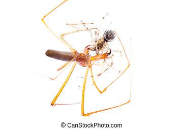 μάχη , απομονωμένος , ζώο , αράχνη