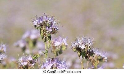 μέλι , λουλούδια , phacelia , και , μέλισσα