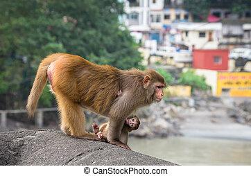 μακάκος , ινδός , μαϊμούδες