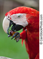 μακάο , παπαγάλος , μεγάλος , απολαμβάνω , φρούτο , κόκκινο