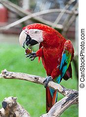 μακάο , παπαγάλος , μεγάλος , απολαμβάνω , φρούτο , παράρτημα , βαρύνω , κόκκινο