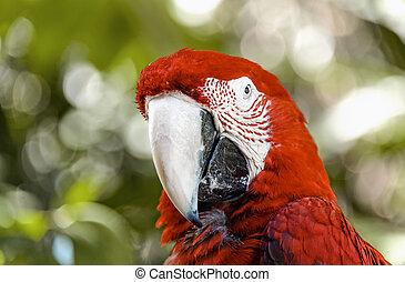 μακάο , παπαγάλος , φωτογραφηκή μηχανή , closeup , παρουσιαστικό , κόκκινο