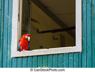 μακάο , τριγύρω , παπαγάλος , κάθονται , ατενίζω , άλικος , παράθυρο , γωνία , κόκκινο