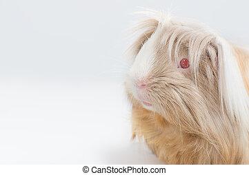 μακριά , είδος ποντικού , haired