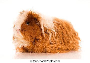 μαλλιά , γκινέα , μακριά , γουρούνι