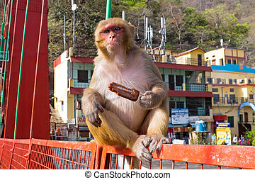 μαϊμού , κατάλληλος για να φαγωθεί ωμός , ένα , παγωτό , επάνω , ο , γέφυρα , μέσα , laxman, jhula, μέσα , ινδία