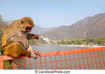 μαϊμού , κατάλληλος για να φαγωθεί ωμός , ένα , παγωτό , επάνω , ο , γέφυρα , σε , laxman, jhula, μέσα , ινδία