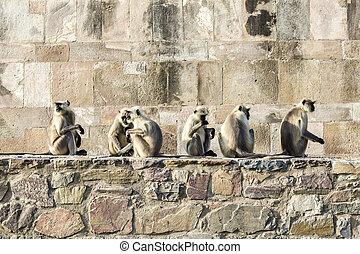 μαϊμού , galwar, ινδία , jaipur , bagh, κρόταφος