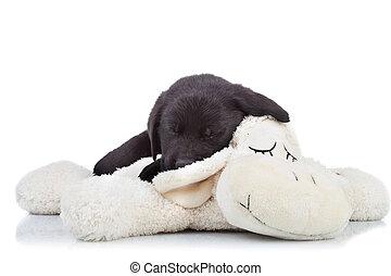 μαύρο σκυλί ράτσας λαμπραντόρ ανόητος , κοιμάται
