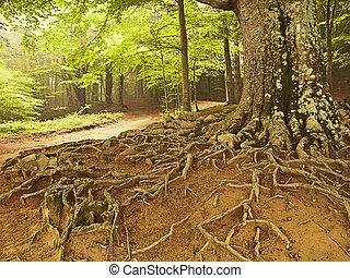 μεγάλος αγχόνη , ρίζα , μέσα , ένα , δάσοs , (spain)