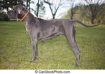 μεγάλος , δανέζικος σκύλος