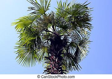 μεγάλος , φοινικόδεντρο