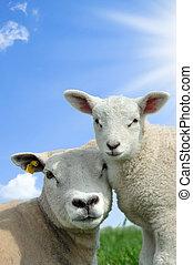 μητέρα , sheep, και , αυτήν , αρνί , μέσα , άνοιξη