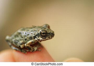 μικρός , βάτραχος