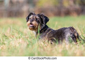μικρό , χαριτωμένος , λιβάδι , πορτραίτο , σκύλοs