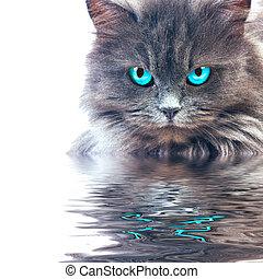 μπλε , γκρί , μάτια , wster, γάτα , αντανακλαστικός