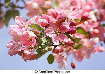 μπλε , μήλο άνθος , ουρανόs , εναντίον , closeup , λουλούδια