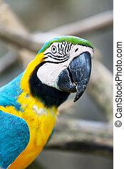 μπλε , μακάο , παπαγάλος , μεγάλος , κίτρινο , σκοτάδι