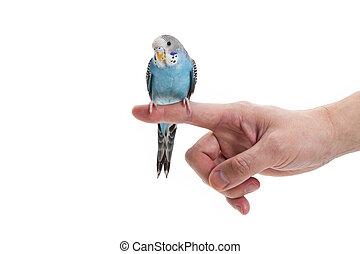 μπλε , budgie