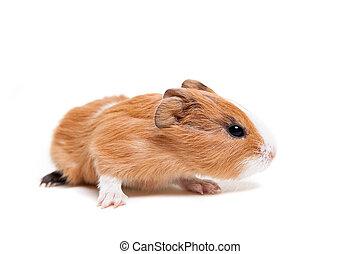 μωρό , είδος ποντικού