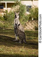 μωρό , (kangaroos), μητέρα