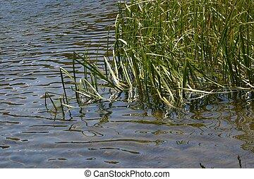 νερό , και , απαντών σε καλαμώνας