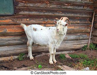 νταντά , αγροτικός , goat, κτίριο
