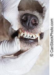 οδοντίατρος , θέμα , σκύλοs
