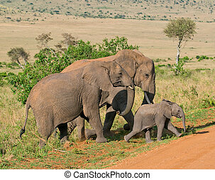 οικογένεια , ελέφαντας