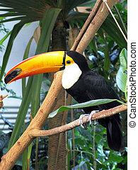 οπωροφάγο πτηνό με μέγα ράμφο