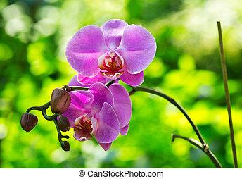 ορχιδέα , λουλούδια
