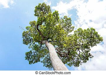 ουρανόs , δέντρο , φόντο
