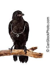 ο , μαύρο πουλί , βαρύνω , αναμμένος ανάλογα με βγάζω κλαδιά , με , ένα , ασημένια , καρδιά