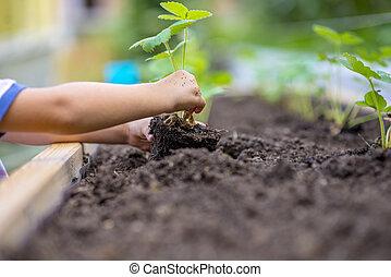 παιδί , φύτεμα , φράουλα , νεαρό φυτό , μέσα , να , ένα , γόνιμος , έδαφος