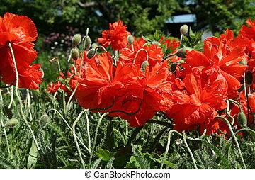 παπαρούνα , λουλούδι , μέσα , ο , άνοιξη , κήπος